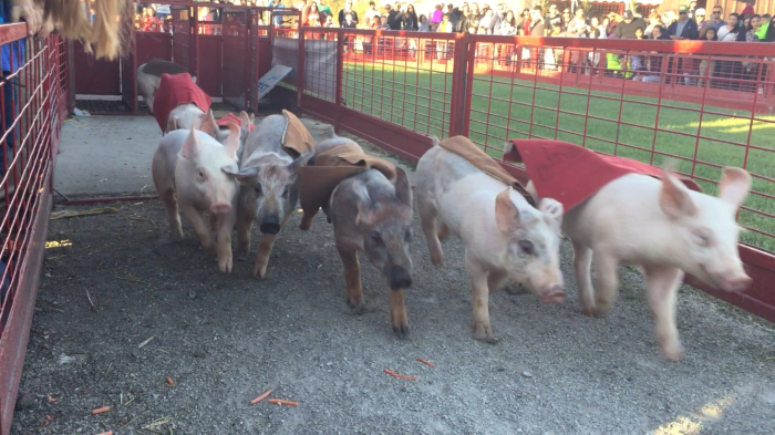 Pig Races | Goebbert's Pumpkin Farm