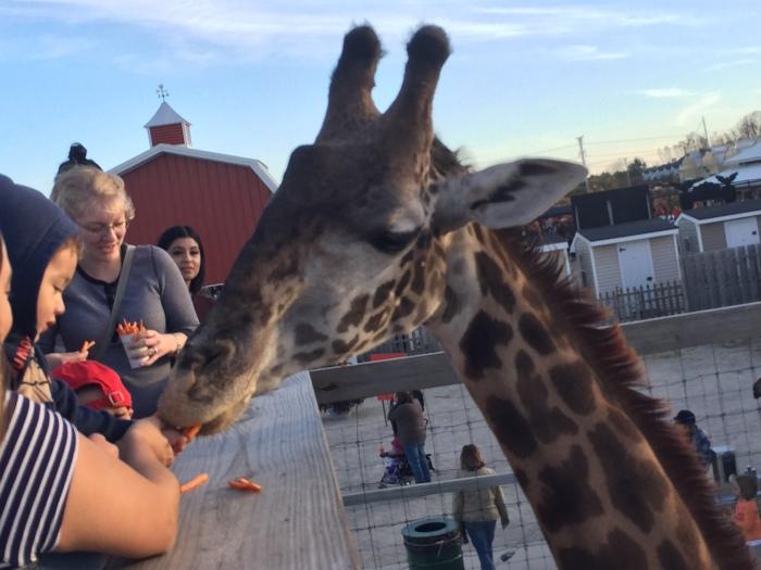 Feeding Giraffes | Goebbert's Pumpkin Farm